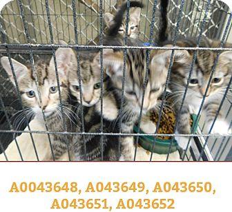 Domestic Shorthair Kitten for adoption in Ocala, Florida - TIGER KITTENS
