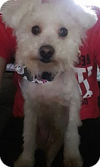 Poodle (Miniature) Mix Dog for adoption in Troy, Michigan - Maple