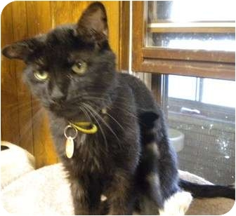 Domestic Shorthair Cat for adoption in Cleveland, Ohio - Dino