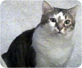 Domestic Mediumhair Cat for adoption in Alexandria, Virginia - Baby