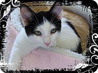Turkish Van Cat for adoption in Los Angeles, California - Cappy