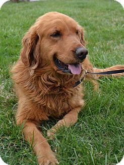 Golden Retriever Mix Dog for adoption in Brattleboro, Vermont - Charlie Girl