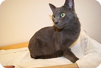 Russian Blue Cat for adoption in Trevose, Pennsylvania - Mama Gray