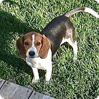 Adopt A Pet :: Primrose - Novi, MI
