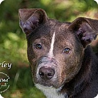 Adopt A Pet :: Harley - Westfield, NY