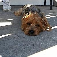 Adopt A Pet :: Felix - Santa Monica, CA
