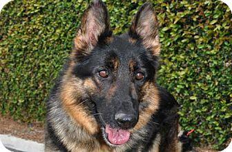 German Shepherd Dog Dog for adoption in Newport Beach, California - Haley