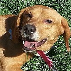Photo 4 - Beagle Mix Dog for adoption in Richmond, Virginia - Dixie