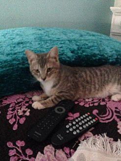 Domestic Shorthair Cat for adoption in Huntington Beach, California - Jimmy