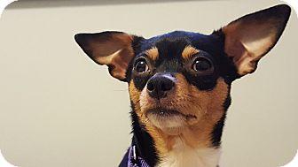 Chihuahua/Miniature Pinscher Mix Dog for adoption in Richmond, Kentucky - Vida