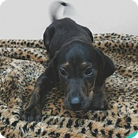 Adopt A Pet :: Squirtle - Garden City, MI
