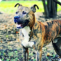 Pit Bull Terrier Mix Dog for adoption in Tomball, Texas - Parker
