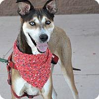Husky/Greyhound Mix Dog for adoption in Chandler, Arizona - Halo