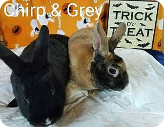Mini Rex Mix for adoption in Williston, Florida - Gray and Chirp