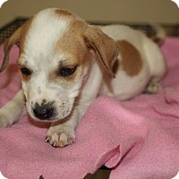 Hound (Unknown Type)/Terrier (Unknown Type, Medium) Mix Puppy for adoption in LEXINGTON, Kentucky - CLARK