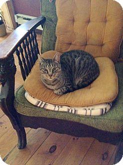 American Shorthair Cat for adoption in New York, New York - Precious