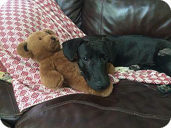 Basset Hound/Dachshund Mix Puppy for adoption in Mesa, Arizona - Johnny