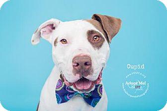 American Staffordshire Terrier Mix Dog for adoption in Visalia, California - Cupid