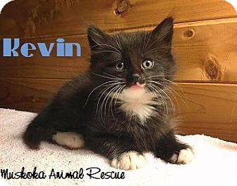 Domestic Mediumhair Kitten for adoption in Huntsville, Ontario - Kevin - Adopted December 2016