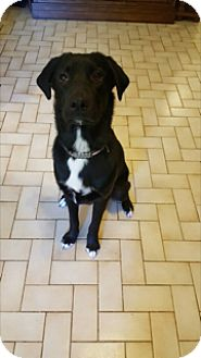 Rhodesian Ridgeback/Australian Shepherd Mix Dog for adoption in Friendswood, Texas - Tucker