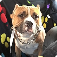 American Staffordshire Terrier/American Pit Bull Terrier Mix Dog for adoption in Lowell, Indiana - Meatball