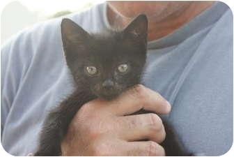 American Shorthair Kitten for adoption in Barnegat, New Jersey - Badger, Bingo, Bentley