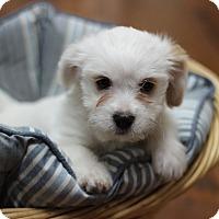 Adopt A Pet :: Sugar Cookie - Austin, TX