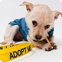 Adopt A Pet :: Señor Tomas Mendez - Austin, TX