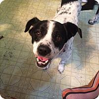 Adopt A Pet :: Pax - Oakley, CA