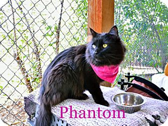 Domestic Longhair Cat for adoption in Hamilton, Montana - Phantom