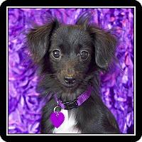Adopt A Pet :: Audrey - San Diego, CA