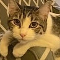 Domestic Shorthair Cat for adoption in LaJolla, California - Turbo