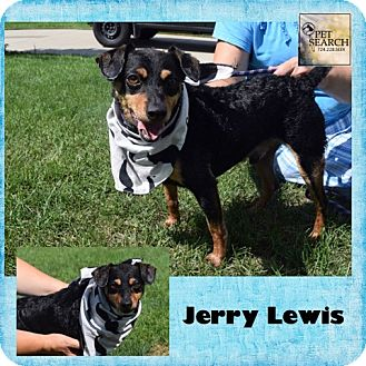 Miniature Pinscher Mix Dog for adoption in Washington, Pennsylvania - Jerry Lewis