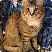 Adopt A Pet :: BOOTS - Hamilton, NJ
