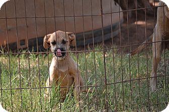 Boxer/Terrier (Unknown Type, Medium) Mix Puppy for adoption in Wilminton, Delaware - Rachel