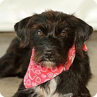 Adopt A Pet :: Pips - Calgary, AB