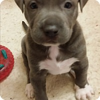 Dogue de Bordeaux/American Pit Bull Terrier Mix Puppy for adoption in Mechanicsburg, Pennsylvania - Mittens Available Soon