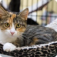 Calico Cat for adoption in Mooresville, North Carolina - A..  Okesha