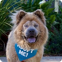 Chow Chow Dog for adoption in Pacific Grove, California - Coco Chow