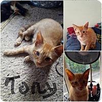 Adopt A Pet :: Tony - Toledo, OH