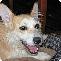 Norwich Terrier Mix Dog for adoption in New York, New York - Rafy aka Ralphie