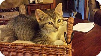 Domestic Shorthair Cat for adoption in Kohler, Wisconsin - Jay-Jay