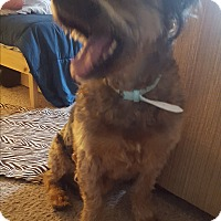 Bearded Collie/Wheaten Terrier Mix Dog for adoption in Bellingham, Washington - Ginger
