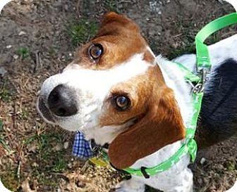 Beagle Dog for adoption in Richmond, Virginia - Ash