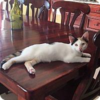 Adopt A Pet :: Belle - Lighthouse Point, FL