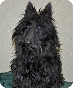 Scottie, Scottish Terrier Dog for adoption in Port Washington, New York - Duke