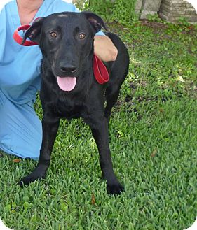 Labrador Retriever Mix Dog for adoption in St. Petersburg, Florida - Bo