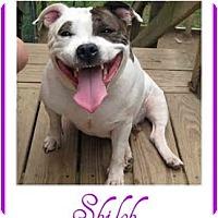 Adopt A Pet :: Shiloh - Dallas, PA
