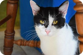 Domestic Shorthair Cat for adoption in Bluefield, West Virginia - Jonie