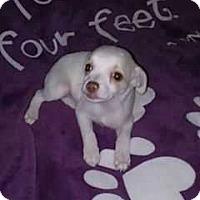 Adopt A Pet :: Spumoni - Livermore, CA